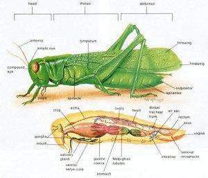 gambar-anatomi-belalang